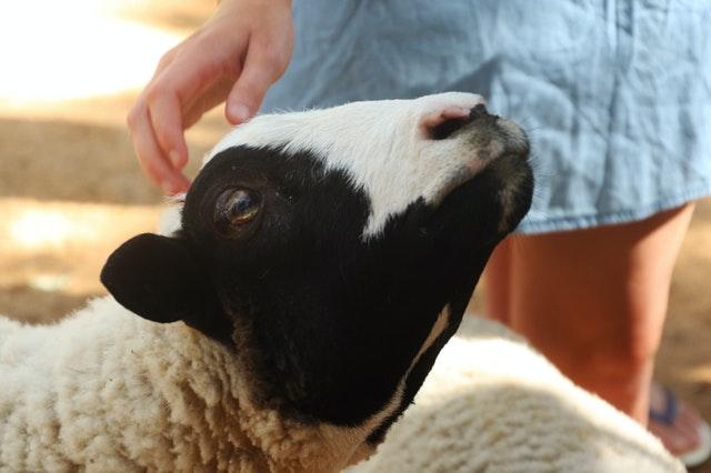Gyapjú használata állatjóléti és fenntarhatósági szempontból